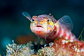 Red-spotted sandperch on reef, Bali, Indonesia