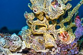 Sea squirt on reef, Bali, Indonesia