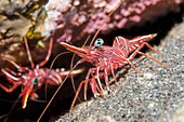 Durban hinge-beak prawn on reef, Bali, Indonesia