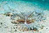 Feather duster worms on seabed, Bali, Indonesia