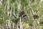 Pied cormorants, Brisbane, Australia