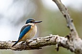 Sacred kingfisher, Brisbane, Australia