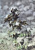 Locusts on plant during locust plague in Palestine in 1915