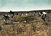Defending against locust plague in Palestine in 1915