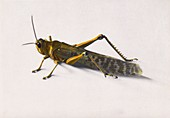 Locust from swarm in Palestine in 1915