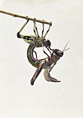 Moulting locust from swarm in Palestine in 1915