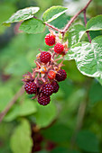 Japanese grape, red-bristled raspberry (Rubus phoenicolasius)