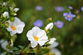 Weiße Blüte von Zistrose