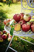 Frisch gepflückte Äpfel der Sorte Elstar auf einem Gartenstuhl.