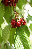 Cherries on a tree in the sunshine
