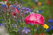 Blüten von Borretsch, Klatschmohn und Wucherblume