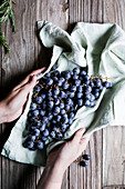 Hands holding fresh blue grapes on a cloth