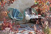 Acapulco-Sessel mit Fell und Decke auf Herbst-Terrasse zwischen Gehölzen mit Herbstfärbung und Gräsern, Hund Zula