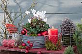 Alpenveilchen in Zinkwanne, weihnachtlich dekoriert mit roten Kugeln, Kerze, Zapfen und Hagebutten