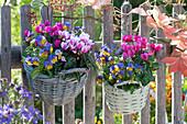 Körbe mit Alpenveilchen und Hornveilchen als Dekoration an Gartenzaun gehängt
