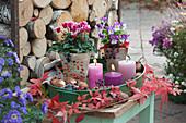 Kleines Herbst-Arrangement mit Alpenveilchen, Hornveilchen, Kerzen und Tulpenzwiebeln auf Metall-Tablett, Ranke vom wilden Wein