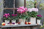 Herbst-Arrangement mit Alpenveilchen, Deko-Chrysantheme, Äpfeln, Hagebutten und Beeren vom Liebesperlenstrauch am Fenster vom Gartenhaus