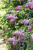 Blühender Flieder im Garten