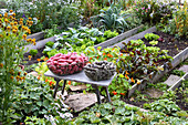 Colourful potatoes in wire baskets on bench in cottage garden