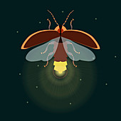 Firefly with open wings, illustration
