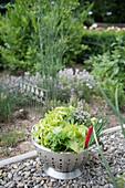 Freshly picked lettuce and herbs in colander in garden