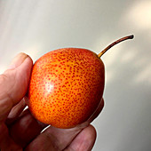 A Forelle Pear held in fingers to show scale