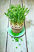 Pea sprouts in a clay pot