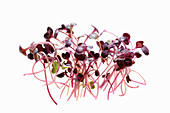 Fresh radish sprouts against a white background