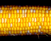 A corn on the cob against a black background (close-up)