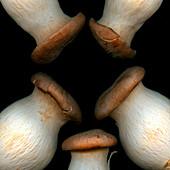 King trumpet mushrooms against a black background