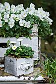 Alte Kisten bepflanzt mit weißen Hornveilchen und Tausendschön