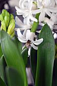 Biene an Hyazinthenblüte
