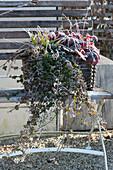 Korb mit Efeu, Purpurglöckchen und Segge auf Gartenbank