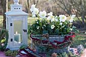 Christrosen in Drahtkorb mit Filz, dekoriert mit Zapfen, Wollschnur und Zweigen von Tanne, Wacholder und Kiefer