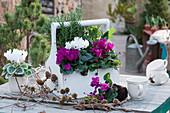 Vorfrühling mit Alpenveilchen, Rosmarin und Salbei inHolztragerl, Zweige von Lärche mit Zapfen