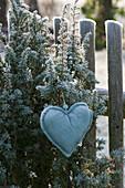 Wacholder mit Herz am Gartenzaun, überfroren von Rauhreif