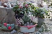 Kleines Topf-Arrangement mit Skimmien und Jardiniere mit Zuckerhutfichte und Knospenheide im Rauhreif, Zapfen, Kerzen und Koniferenzweige als Deko