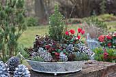 Schale mit Herbst-Bepflanzung : Scheinbeeren, Alpenveilchen und Zuckerhutfichte, Zapfen und Zweige als Deko