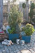 Wacholder und Kiefer mit Skimmien, Zwergfichte, Currykraut und weißfilziges Greiskraut als Unterpflanzung