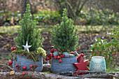 Zuckerhutfichten weihnachtlich dekoriert mit Sternen und Hagebutten
