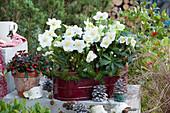 Jardiniere mit Christrosen und Tannenzweigen, Scheinbeere im Tontopf