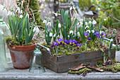 Schneeglöckchen und Krokusse mit Moos in Holzkasten und Tontopf