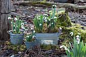 Zinkgefäße mit Schneeglöckchen im Garten, Zweige von Hartriegel als Deko