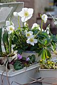 Topf-Arrangement mit Christrose, Vorfrühlings-Alpenveilchen, Winterling und Schneeglöckchen