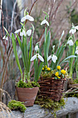 Schneeglöckchen und Winterling mit Moos in Topf und Korb