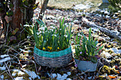 Korb und Zinkwanne mit Schneeglöckchen, Winterling und Vorfrühlings-Alpenveilchen