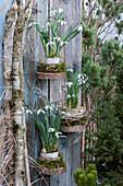 Schneeglöckchen in Rinde, Moos und Gräsern auf Holzscheiben an Bretterwand befestigt