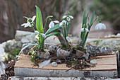Schneeglöckchen in leere Schneckenhäuser gepflanzt