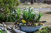 Schale mit Schneeglöckchen, Winterling und Traubenhyazinthe