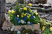 Holzkasten mit Narzissen 'Tete a Tete', Traubenhyazinthen 'Blue Pearl', Milchstern und Zuckerhutfichten, Osterhase und Ostereier